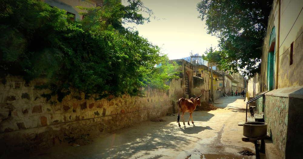 Vache sacrée Jaisalmer